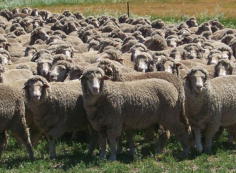 Bundilla Merino Rams