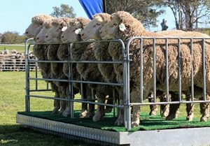 Bundilla Poll Merino Open Day